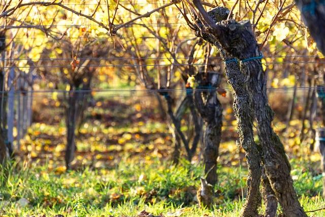 podzimní vinice