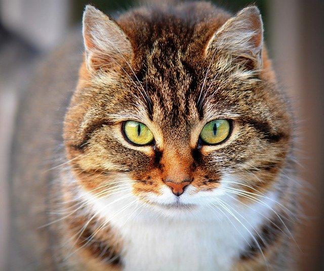huňatá kočka